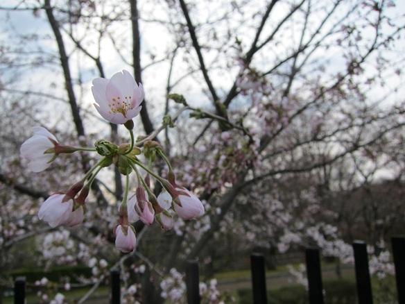 2013年4月28日八戸市 桜開花