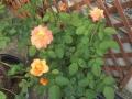 アンネのバラ2014