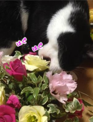バラを食べるトト