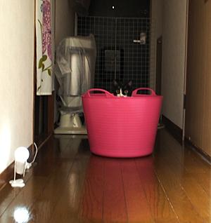 廊下のピンクのトト
