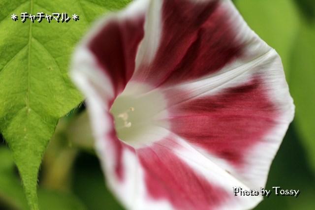 終日咲きアサガオ チャチャマル