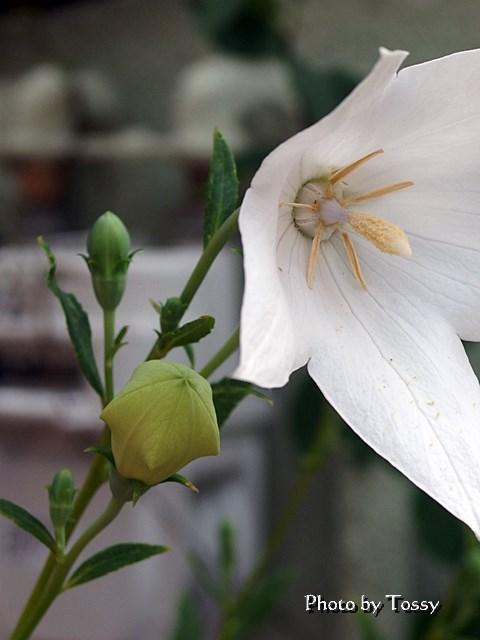白いキキョウ つぼみ