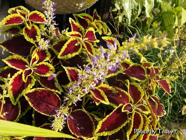 コリウス 花 葉