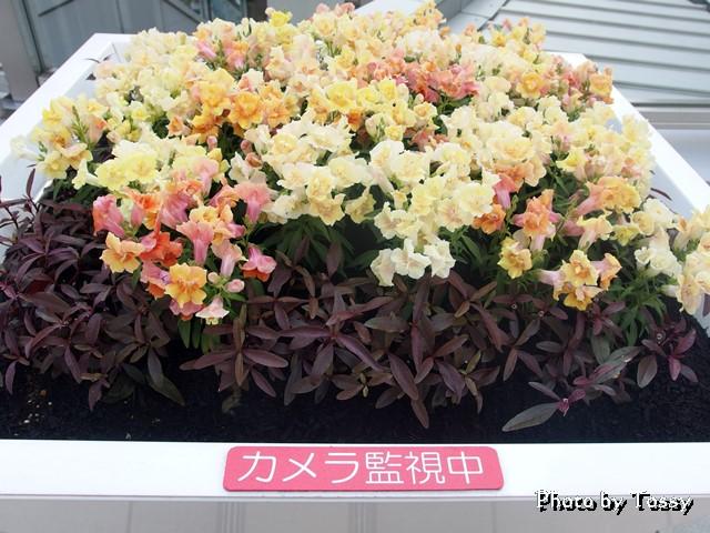 八重咲きキンギョソウ