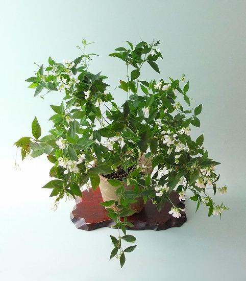 ナンテンハギ(白花)