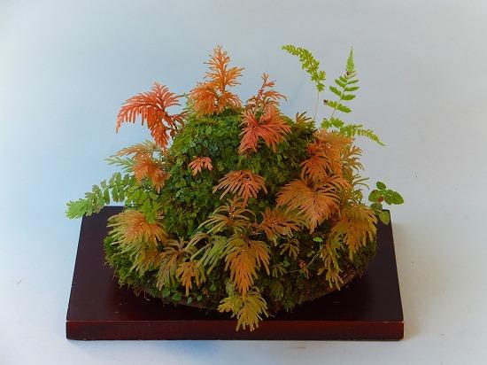 姫イタビとカタヒバの秋景色H25年11月