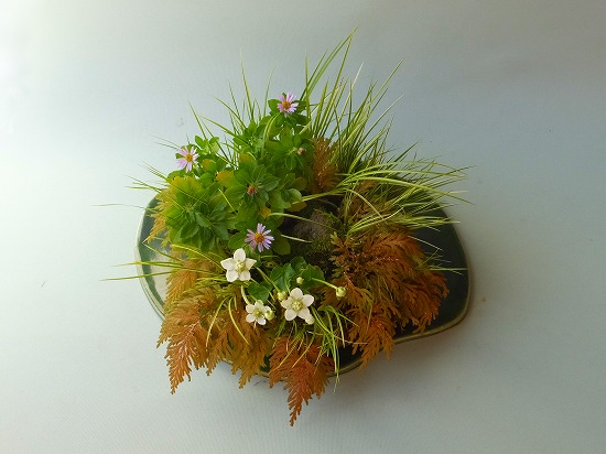 ダルマ紺菊・梅鉢草2013年