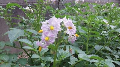 ジャガイモの花・2013/5/29
