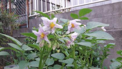 ジャガイモの花・2013/5/24