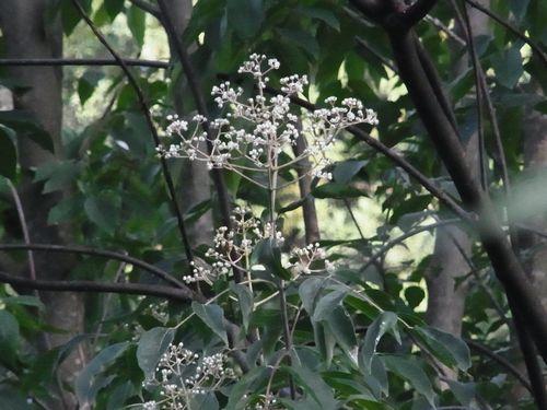 ビービーツリーの花?
