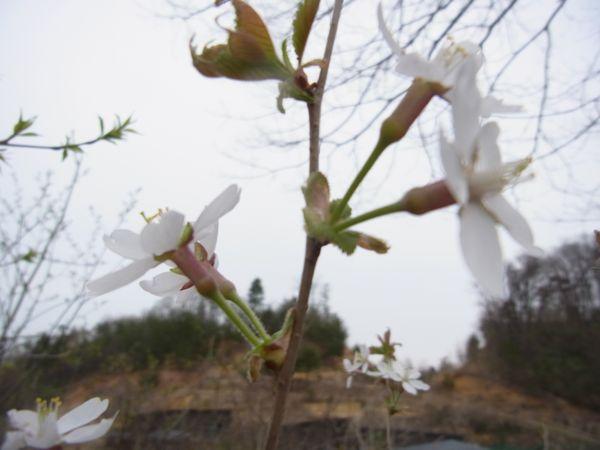 山桜(柴桜)?