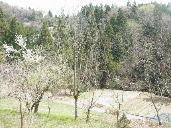 山のビービーツリーの木