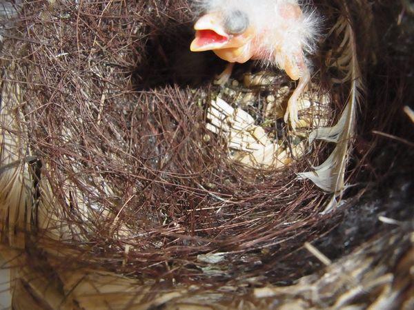 カナリア孵化