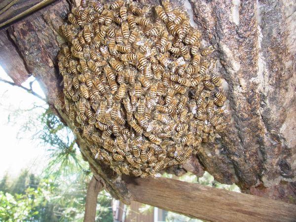 自宅3群目分蜂
