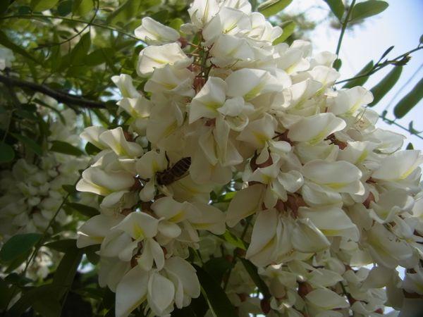 ニセアカシアにニホンミツバチ