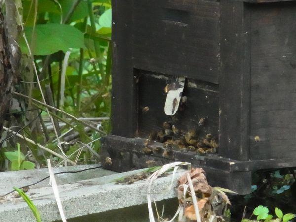 重箱から洋箱に移した洋蜂