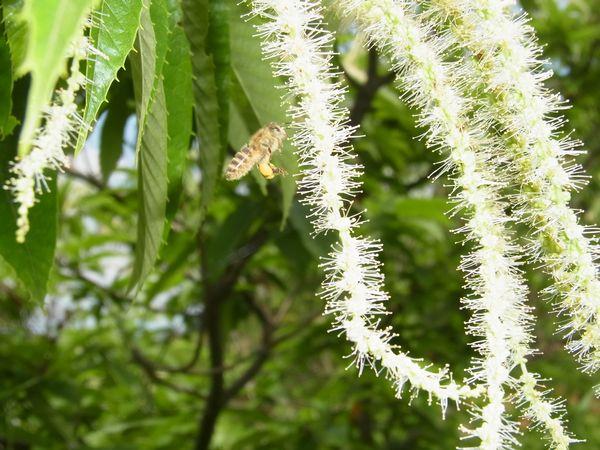 クリの採蜜・・・ニホンミツバチ