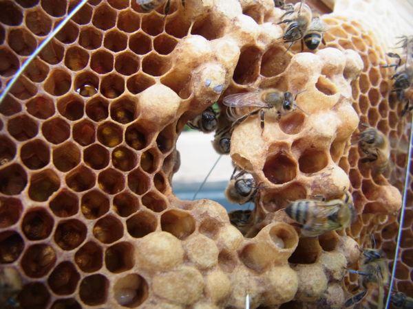 働き蜂産卵ですか?