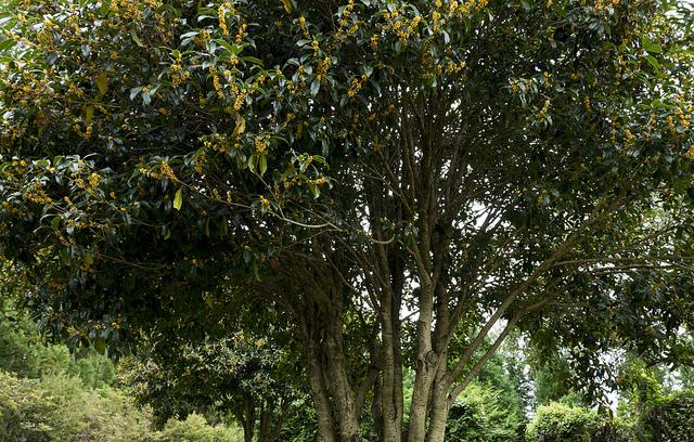 金木犀001