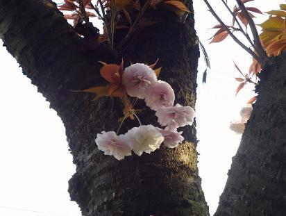 ?ボタン桜 015
