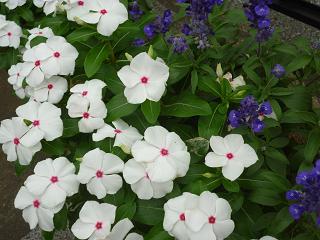 庭の花々 005