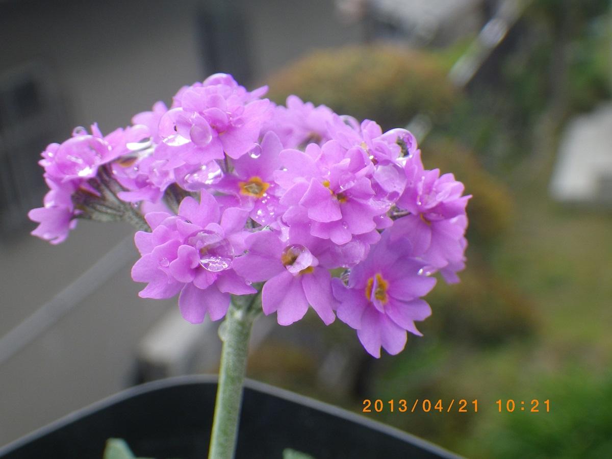 雪割小桜4