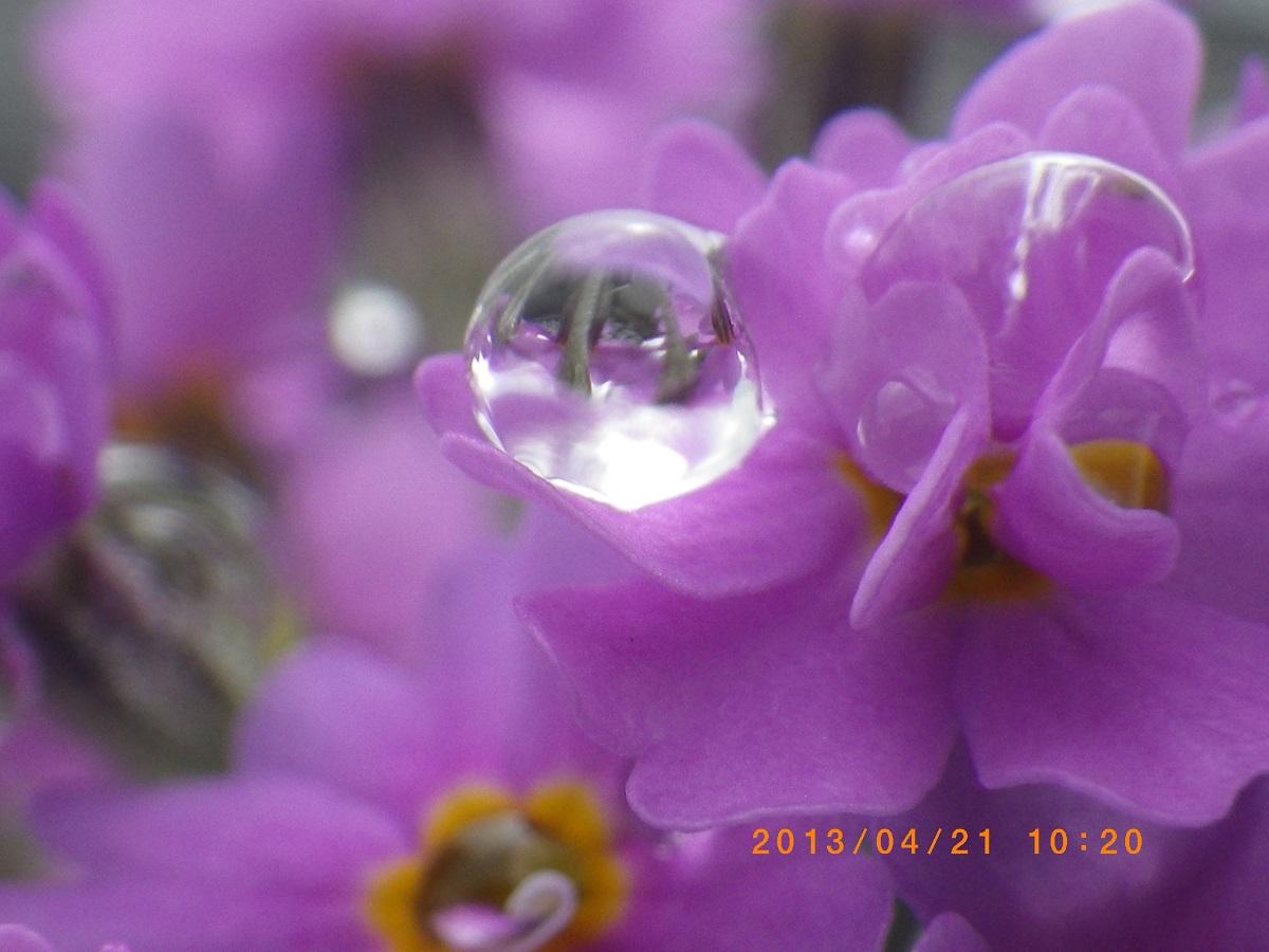 雪割小桜2