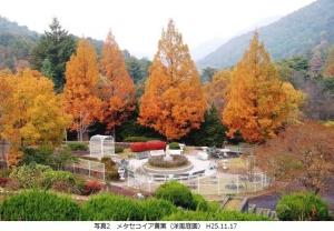 メタセコイア黄葉