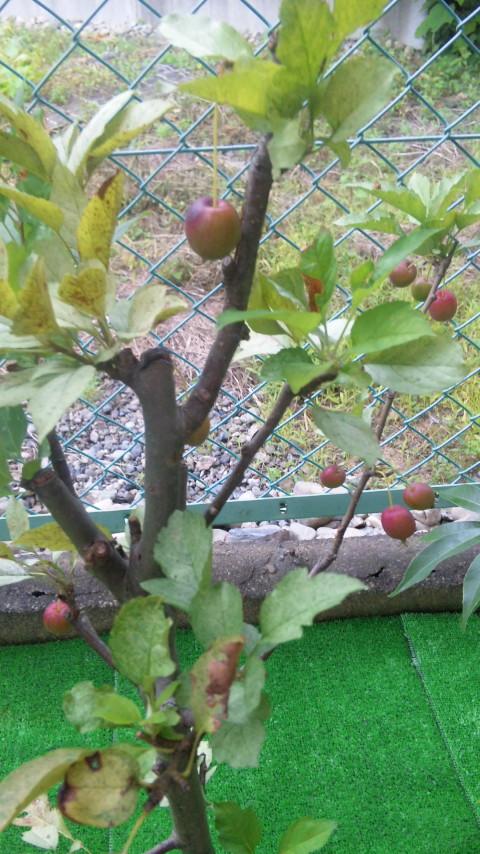 赤く色づいた姫リンゴ