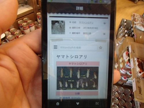 ヤマトシロアリ (3)