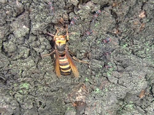 スズメバチ (4)