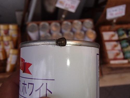 マルカメムシ (4)