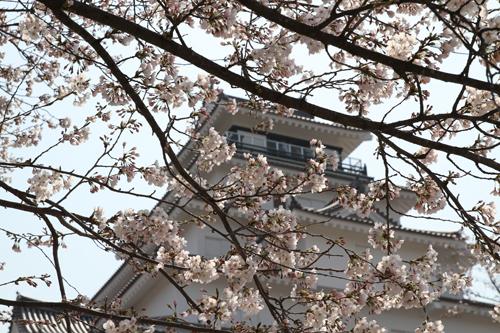 鶴ヶ城 桜 4 17 23