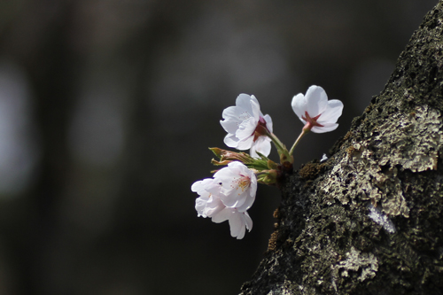 鶴ヶ城 桜 4 17 29