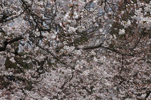 鶴ヶ城 桜 4 17 30
