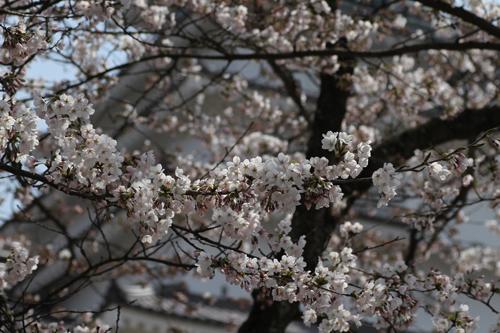 鶴ヶ城 桜 4 17 31