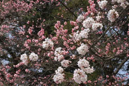 鶴ヶ城 桜 4 17 33
