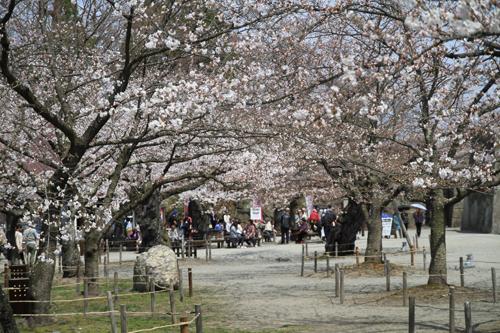 鶴ヶ城 桜 4 17 44