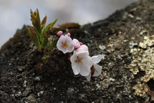 鶴ヶ城 桜 4 17 45