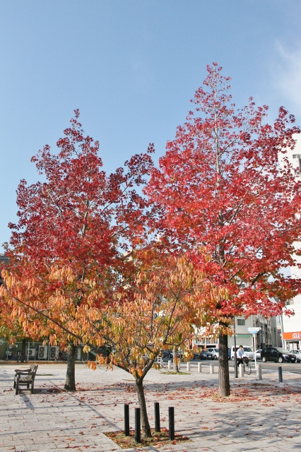 IMG_8568 (426x640)紅葉の並木