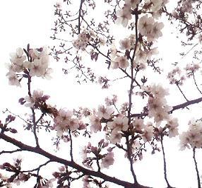 東本願寺の前の桜