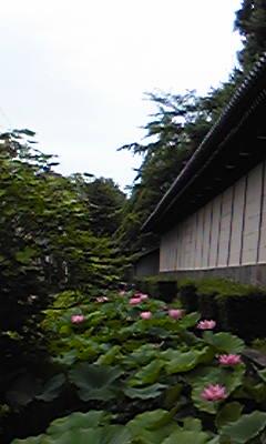 7月の蓮(タテ)東本願寺