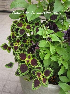 黒いペチュニアの寄せ植え テルテルハート
