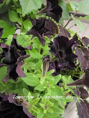 黒いペチュニアの寄せ植え ブラックベルベット