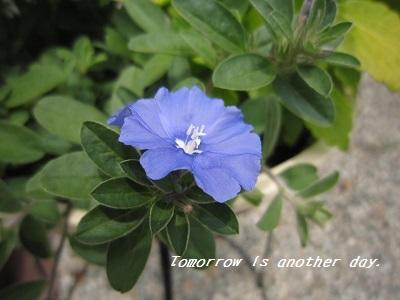 夏らしい爽やかな寄せ植え アメリカンブルー