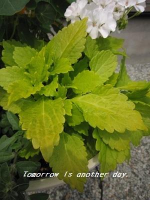 夏らしい爽やかな寄せ植え ライムサンシャイン
