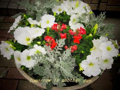 金魚草・ペチュニア・白妙菊の寄せ植え 全体