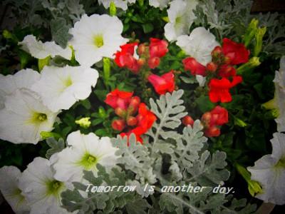 金魚草・ペチュニア・白妙菊の寄せ植え アップ