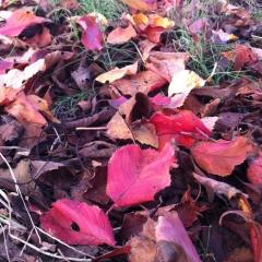 20131022公園落ち葉の紅葉