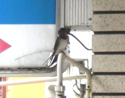 親鳥です。